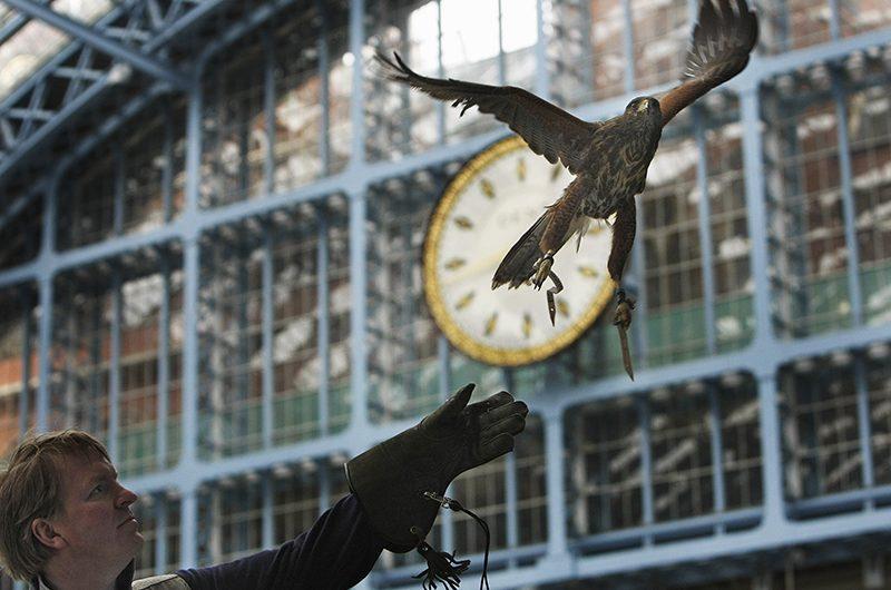 Hawk Flying in London St Pancras