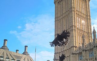 One of our hawks in London